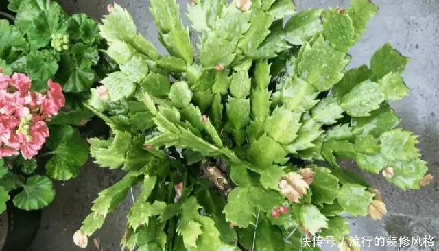 蟹爪兰喝点它,秋天连开100朵,叶子肥得直滴油