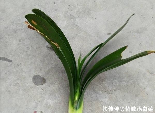 君子兰的根都烂没了,一个小方法能让它再次生根发芽至爆盆!!