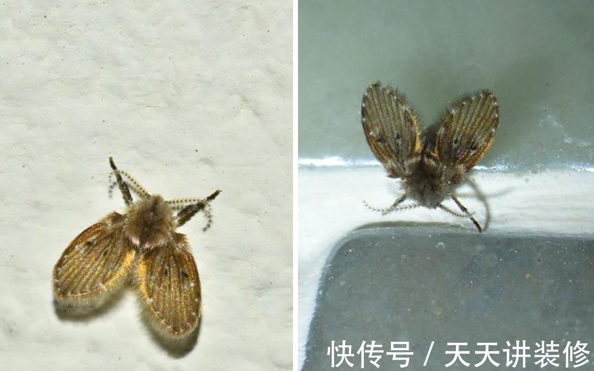 卫生间|卫生间里的小飞虫是什么?只需三步,就能彻底杜绝!