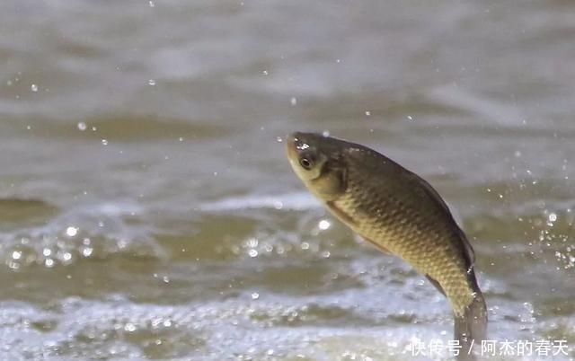听说鲫鱼很难钓试试饵料这样搭配,上鱼速度真的牛!