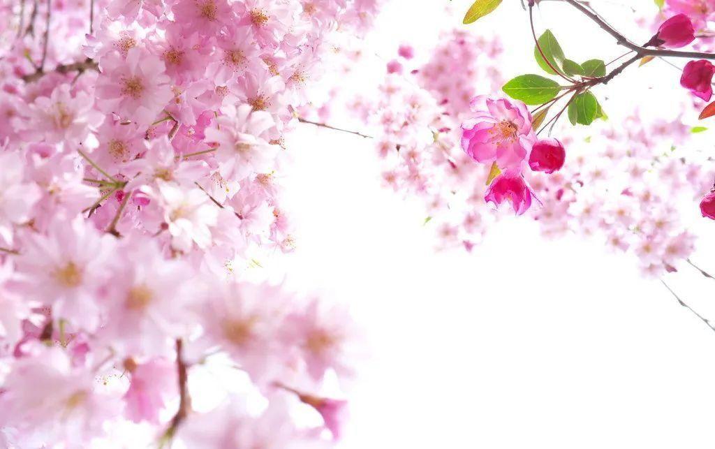 法治文苑 ▏林清玄:昔年櫻花在