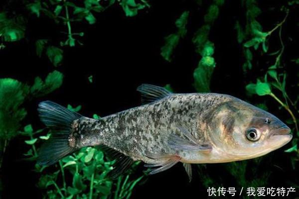 特产早知道——丹江口鳙鱼