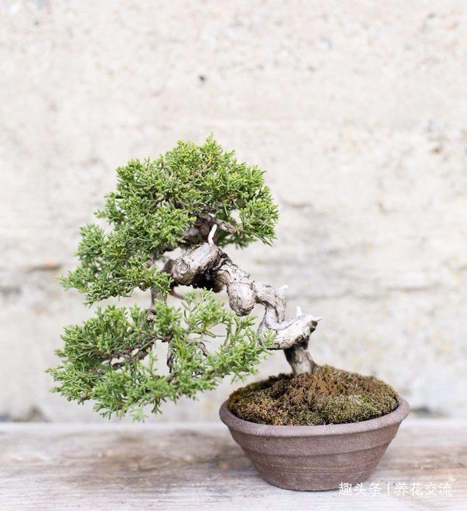 园艺新手接触盆景树需要学到的6个技巧,避免叶黄和枯萎