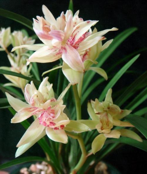 富山奇碟|此兰被誉为多瓣奇花经典之首,花中有花,簇拥开放,便宜还好养