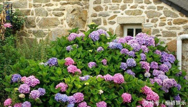 少吃两顿肉,此花也要栽2株,花开上千朵,五颜六色,美如诗画