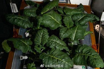 NASA在宇宙環境成功種植新鮮蔬菜