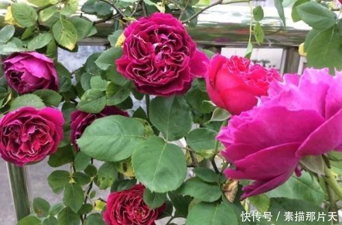 春天养花选它,丢盆里就能活,花量大花香浓郁,阳台轻松变花海!