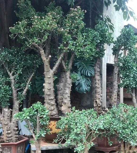 这2种大粗杆插土里,2周能生根,成活后还可以做成盆景造型