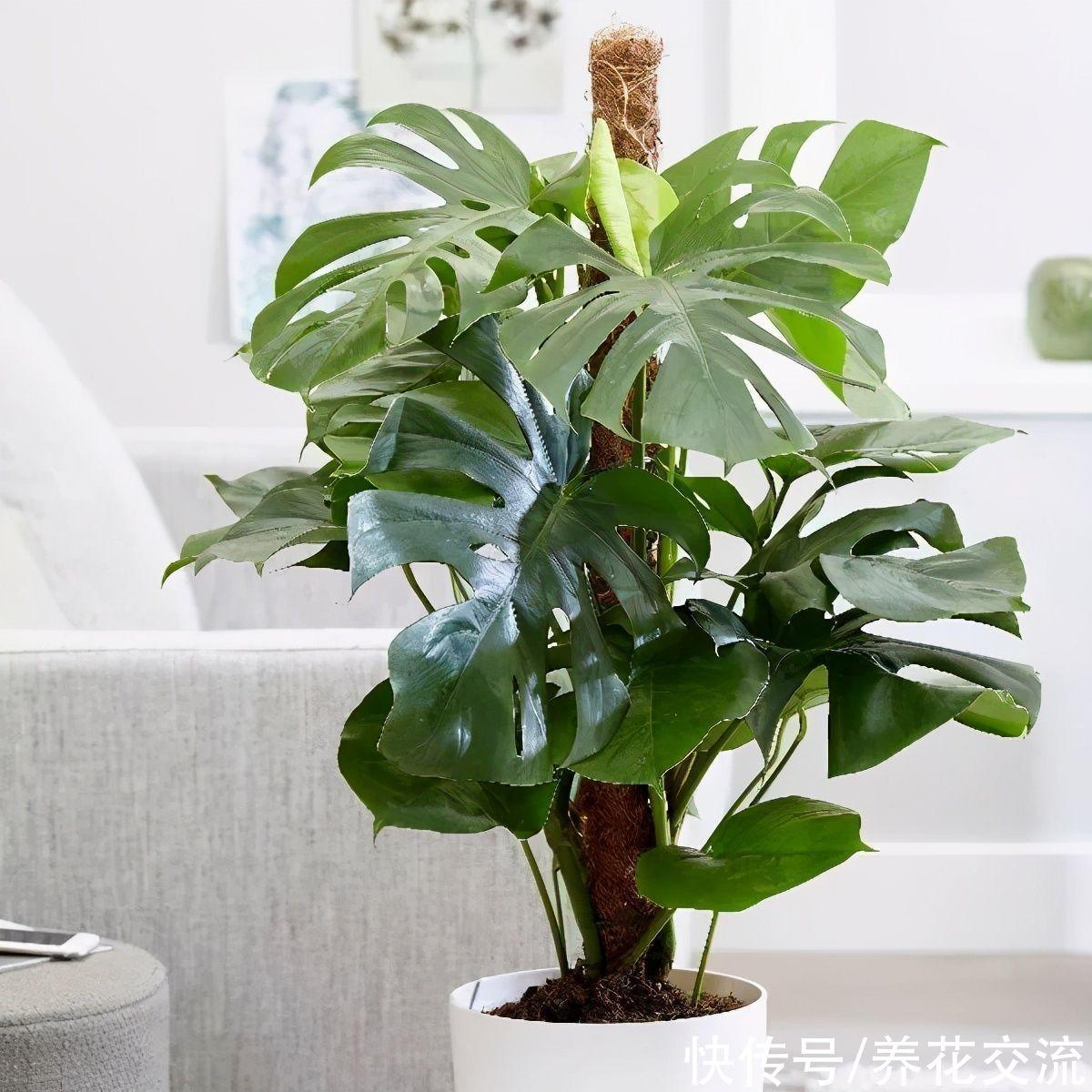 在家自制植物水苔柱,以龟背竹为例,花友可适当参考