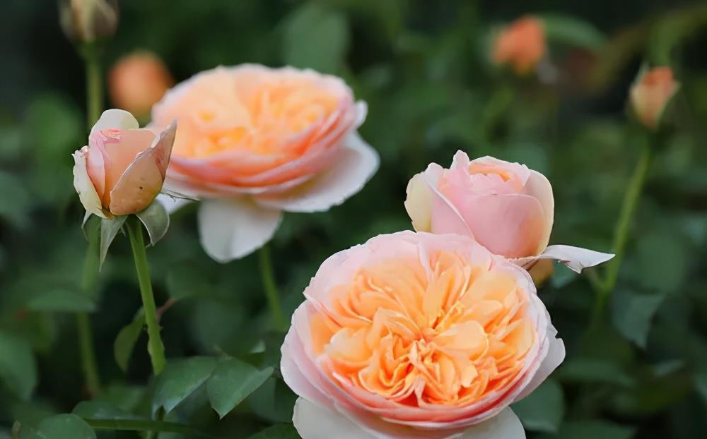 月季花 养了十年月季,总结出6个经典月季,盆栽地栽都好养,花朵满枝头