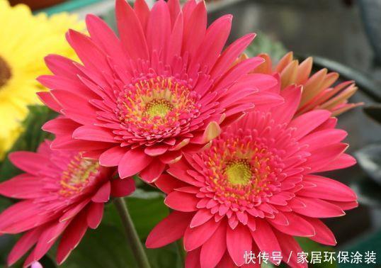 养花试试此几款,花开繁盛花香怡人,阵阵花香,花朵大