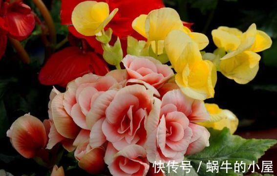 丰腴 春节过后家居养花,选它就够了,粉嫩丰腴,花开硕大还鲜艳