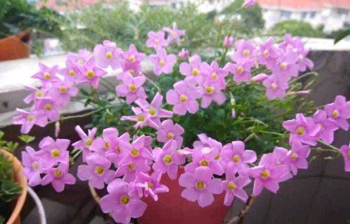 阳台上养2种小花,株型小巧花量很大,颜色漂亮又好养