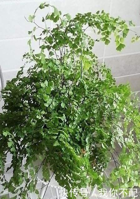 最适合养在卫生间的花,一盆就能净化空气,赶紧养起来啦!