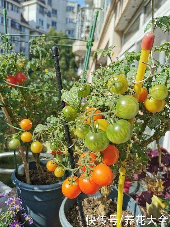 适合养在家里的果树,种上一棵,咕噜咕噜结果子