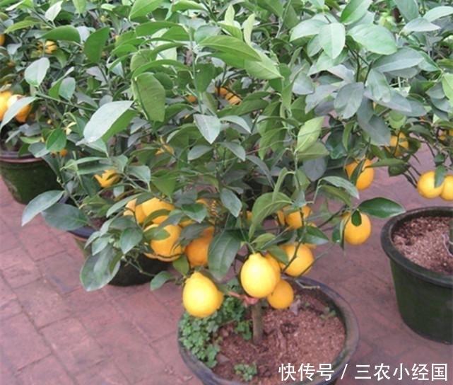 从网上买的盆栽果树靠谱吗? 看完真的吓一跳