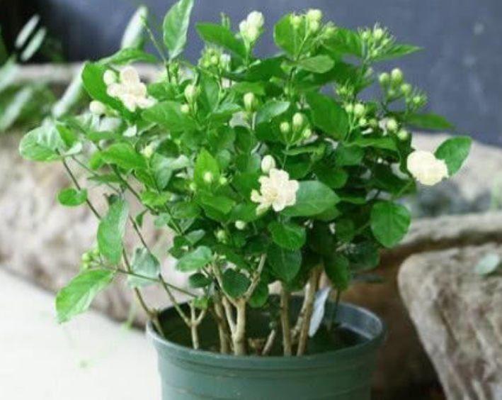 家里阳台养此款花,新手也能养爆盆,全年开花不断,花开美观大气