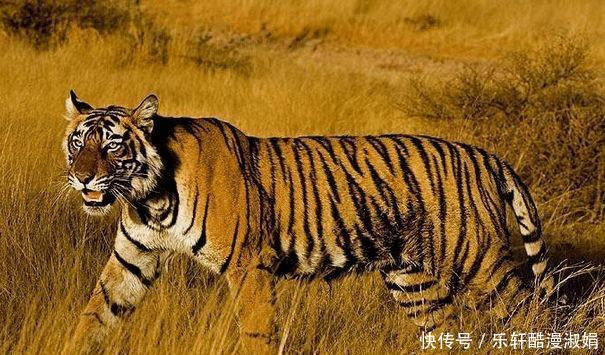 虎虎虎屬虎人喜事,有4大喜來臨,小夥伴們速度看看是什麼喜