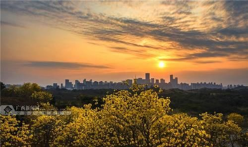 南宁青秀山:黄花风铃木盛放迎客来(高清图集)