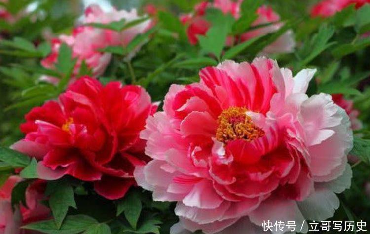 庭院养此几款花,堪称是开花机器,花姿妖娆,养在阳台极美了