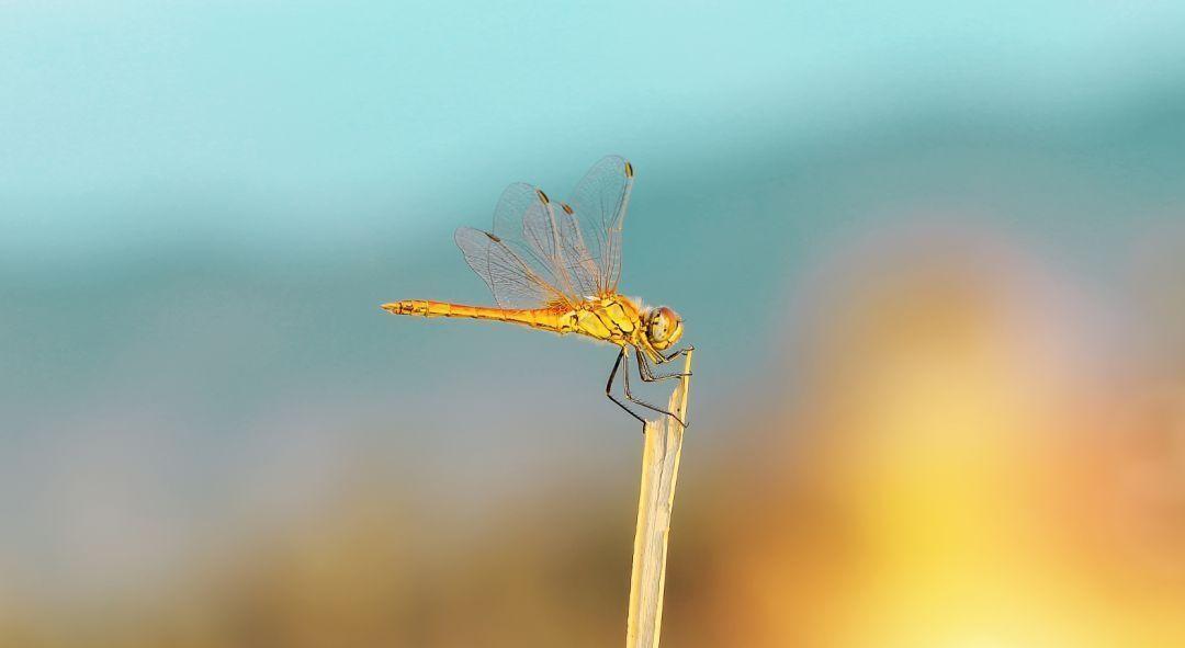 大美彝鄉大姚的香草地,蜻蜓飛過,無盡夏意