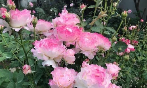 4种月季花比玫瑰漂亮100倍,全年开花不断,花大多又艳,值得拥有