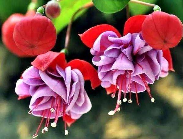"""喜欢菊花,不如养盆""""高档小花""""芍药,娇艳美丽,热烈奔放"""