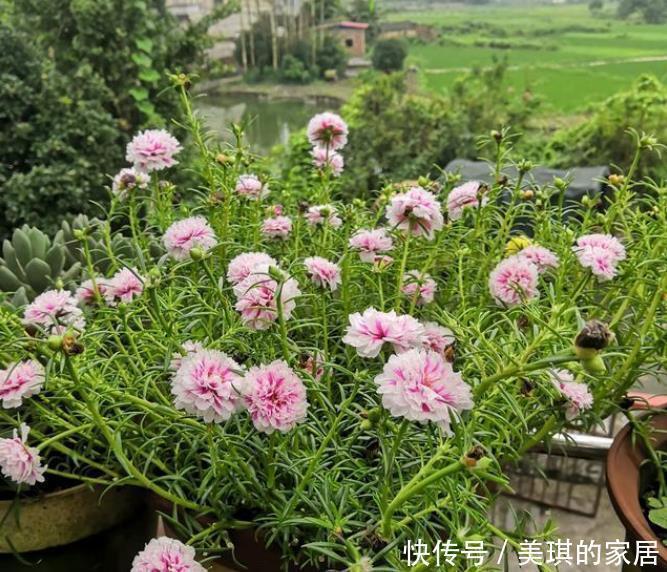 能养 此盆栽花很好养,花美似牡丹,三季开花,南北都能养,很值得栽培