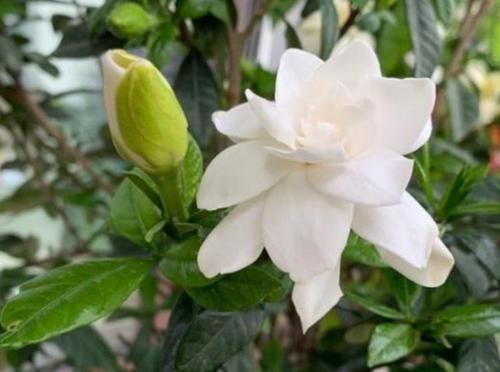 【草丁图书馆】家养3种旺运花,迷人的花朵,开满整个花盆,快养起来吧!