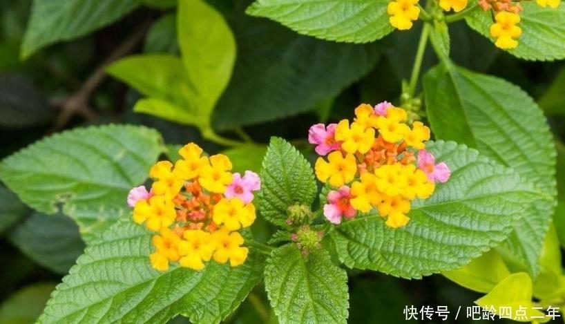 野花 这种农村正在盛开的野花,虽然有祛风止痒的功效,却也身含剧毒