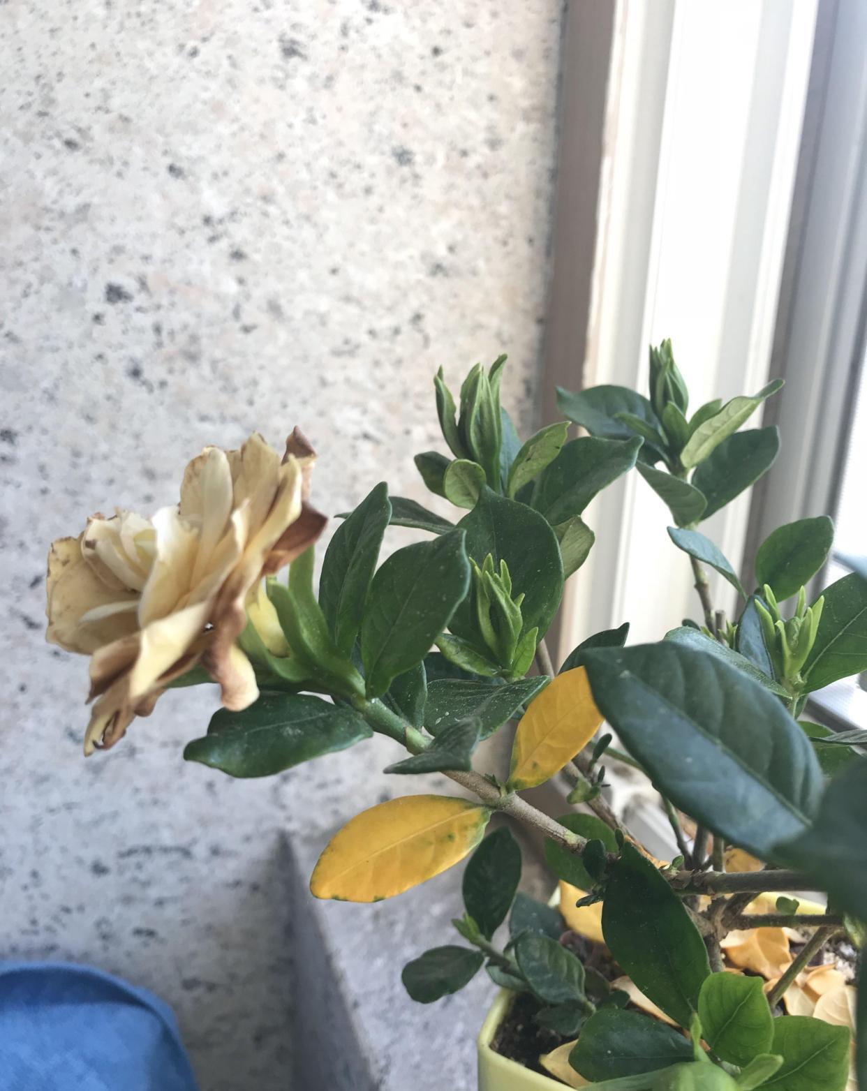 栀子花叶黄掉苞,是3大原因造成的,怎么办?