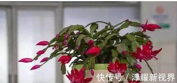 叶片 君子兰、长寿花、蟹爪兰总不开花,可能盆里缺点它,加一点就开花