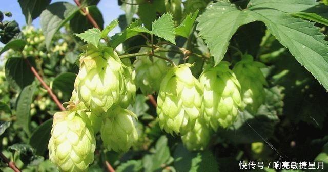 國內大量種植供出口,製造啤酒的天然材料,國外是寶貝,要珍惜