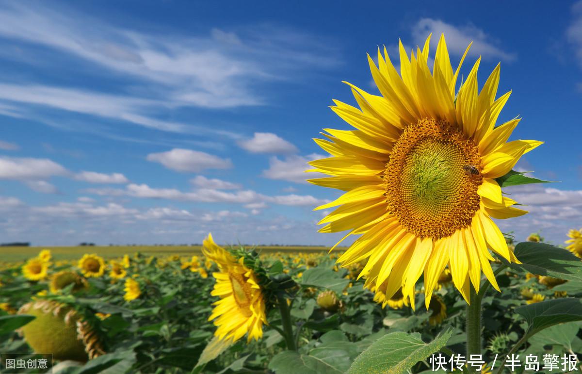 心理測試:哪一朵向日葵最陽光?測試你的朋友圈有多少人愛上你