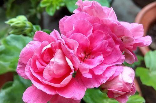 叶子|此花开花漂亮,花期长又勤花,连叶子都是清香的,值得拥有