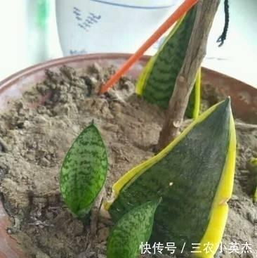 虎皮兰怎么繁殖比较快, 这个方法太好了