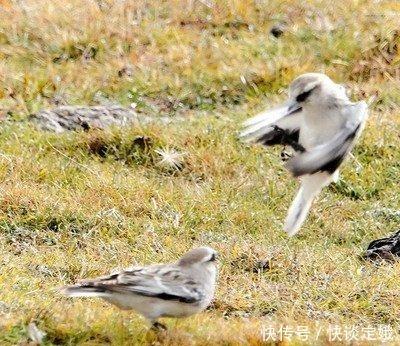 新疆雪雀,高原鸟,孤独的飞行者。
