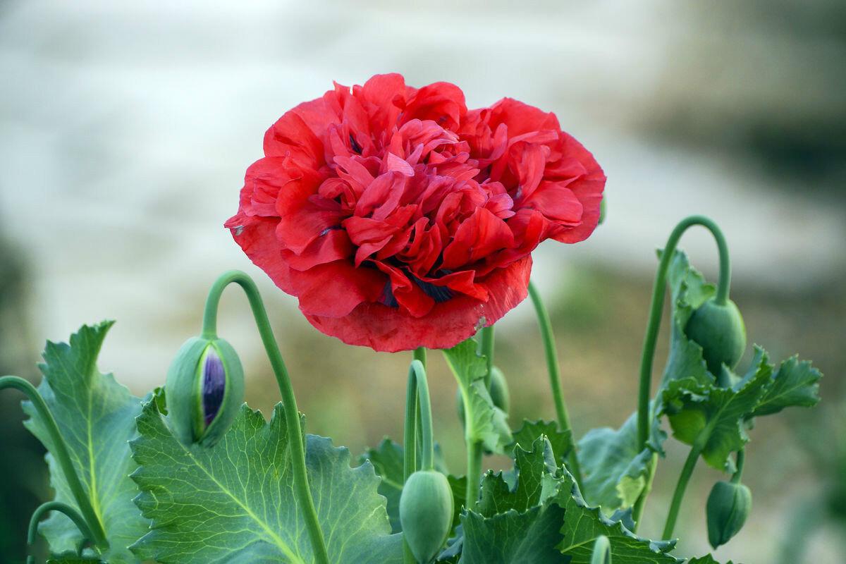 古埃及|此花是中国禁种植物,被古埃及称为神花,在欧中象征着和平之意