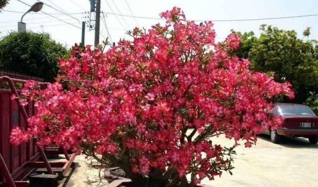 养花就要养它,只要开花就是200以上,绝对最美风景线