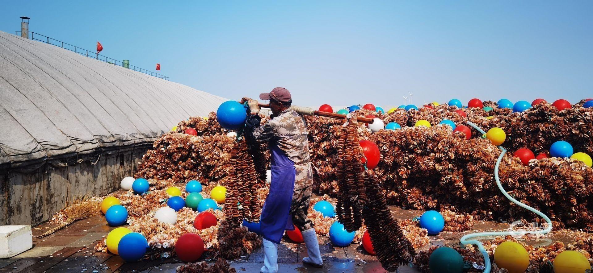 今年已賣出苗種10億片!青島前沿三倍體牡蠣實現主產區全覆蓋