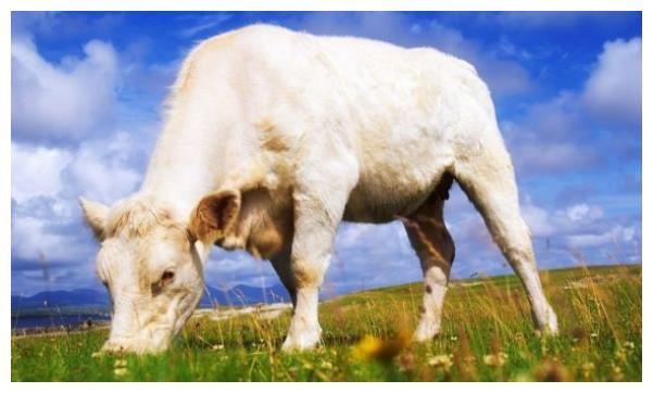 """""""牛牛牛""""惹不起的生肖牛,1月22號大喜不請自來"""
