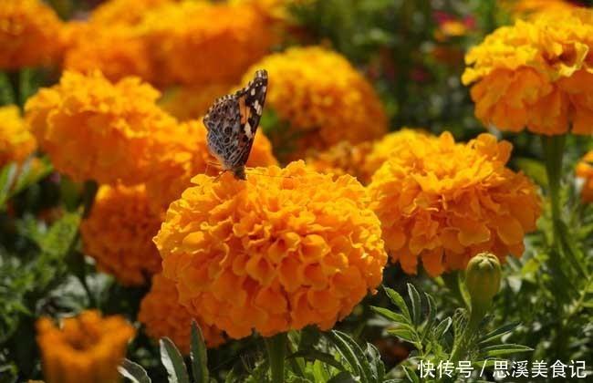 此花有着最为吉祥的寓意,花型还很大,常被用作花坛布景