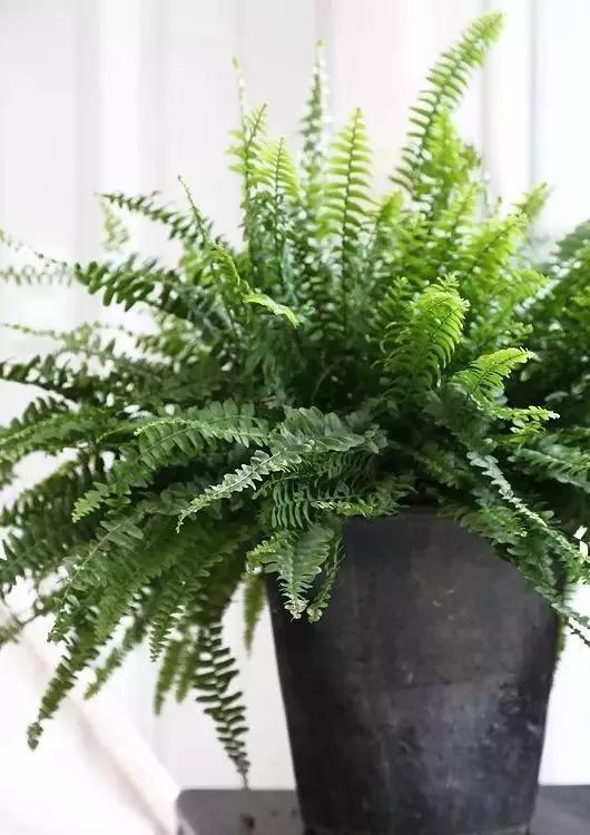 蕨菜类|不喜欢也要养的4种花,放在家中净化空气,吸附灰尘