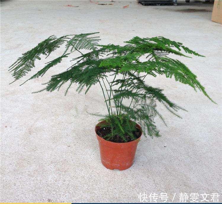 文竹不能这样养,不然很容易出现黄叶情况