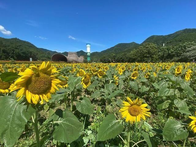 五彩水稻田见过吗?浙江最大的向日葵花海在哪里?美丽的安吉余村欢迎你