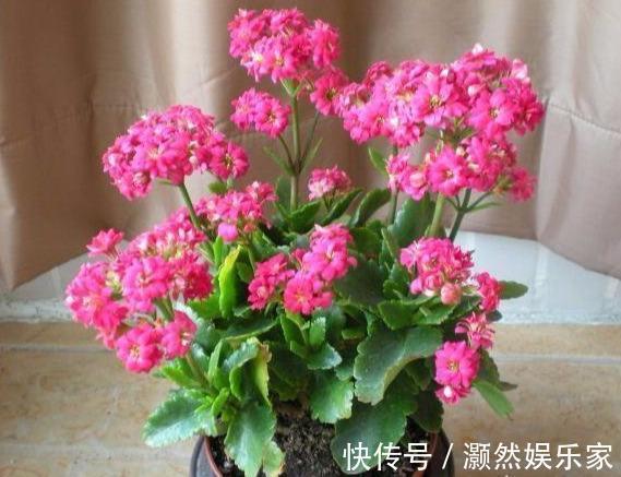 """刚买的长寿花,换盆做好""""3件事"""",蹭蹭长新芽,开花就爆盆"""