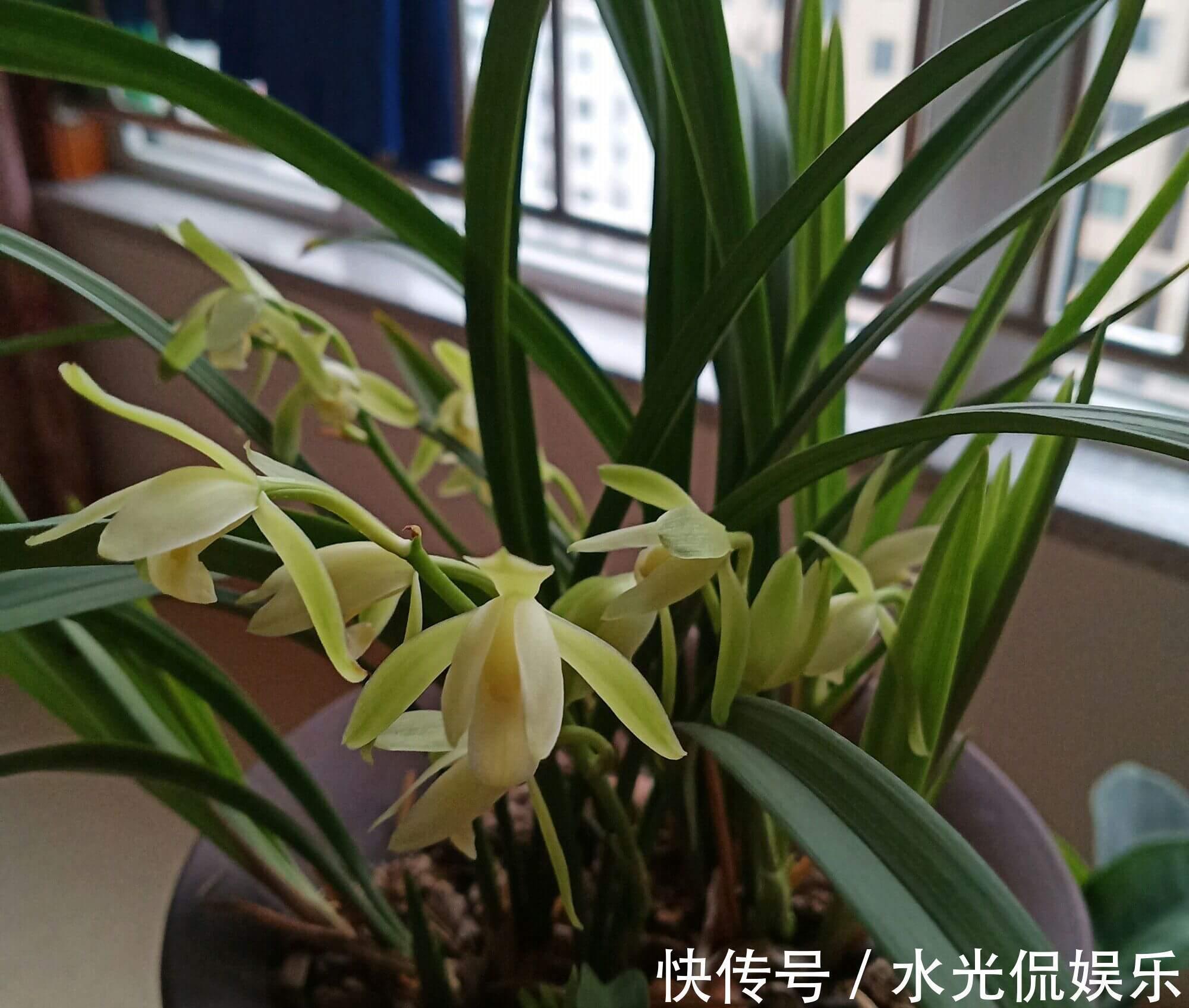 植料|新手养兰花,把握几个关键点,兰花不黄叶烂根易出水晶头