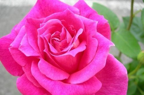 冷俊|3种花让人爱不释手,香气怡人,漂亮似牡丹,养护容易