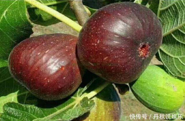 """在家也能种""""无花果"""",南北方都能种,果子大又甜,年年挂满枝!"""