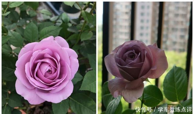 """""""无缺点""""月季花,四季开花,香气浓郁,南北都能种,室内也能养!"""